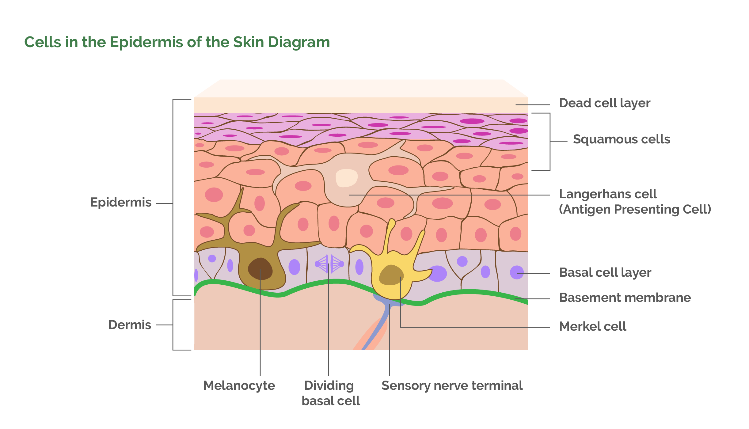 Cells in the Epidermis of the Skin Diagram
